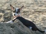 Beach Dog8